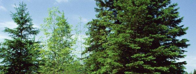ky evergreen trees