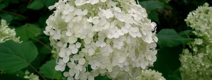 KY hydrangea-arborenses