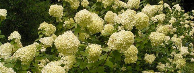 KY hydrangea-paniculata