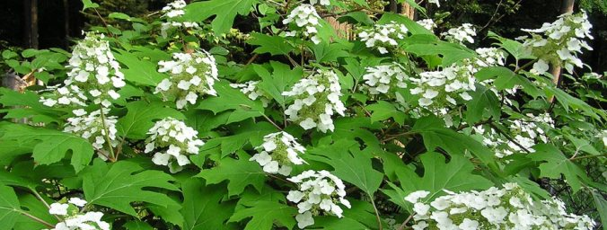 KY hydrangea-quercifolia