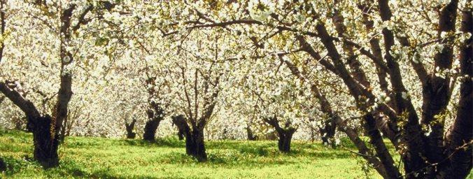 ky trees flowering
