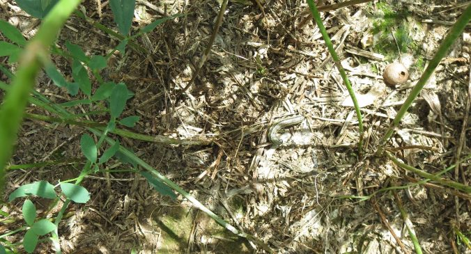 armyworm damage