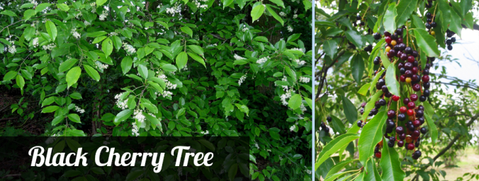 KY black cherry tree