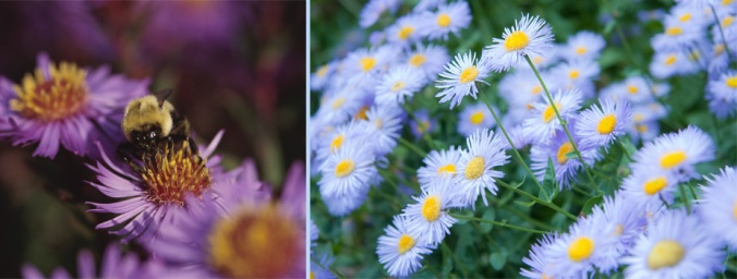 KY native aster