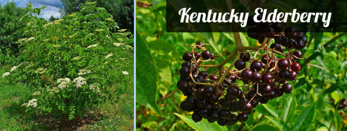 KY native elderberry