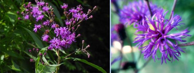 KY native ironweed