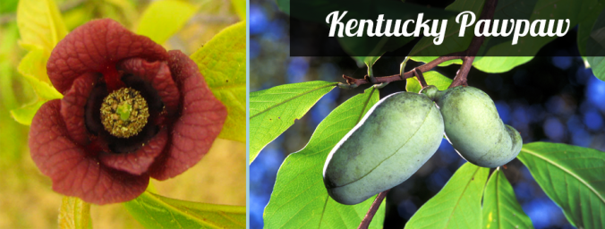 KY native pawpaw fruit