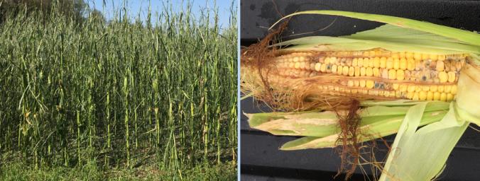 corn crop storm damage