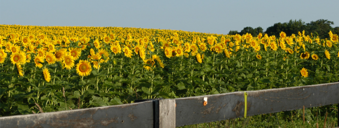oldham county sunflowers