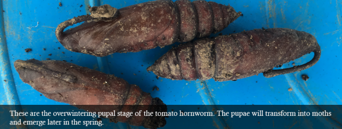 garden pest tomato hornworm