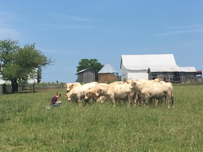 beef cattle farm