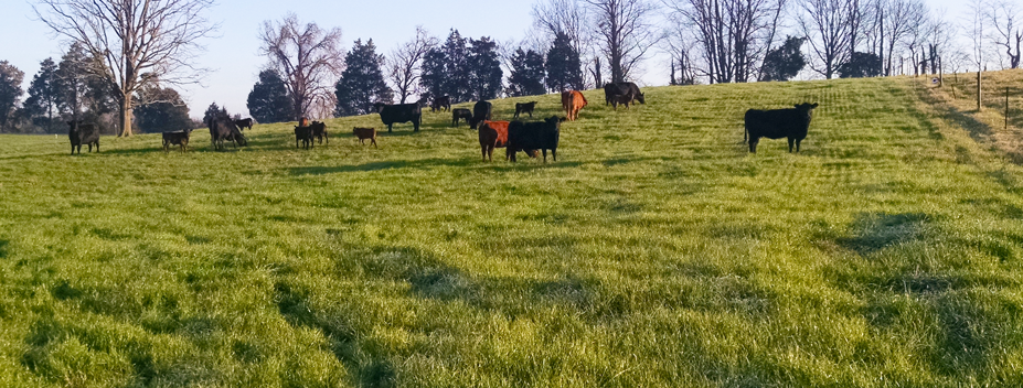 oldham county cattle in pasture