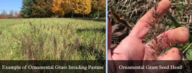 ornamental grass pasture weed
