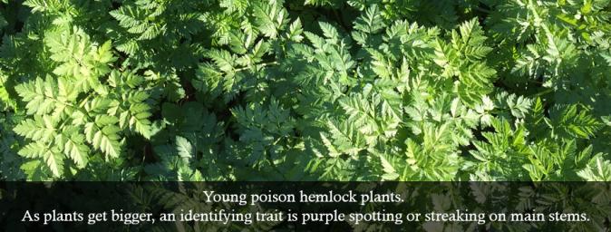 poison hemlock weeds