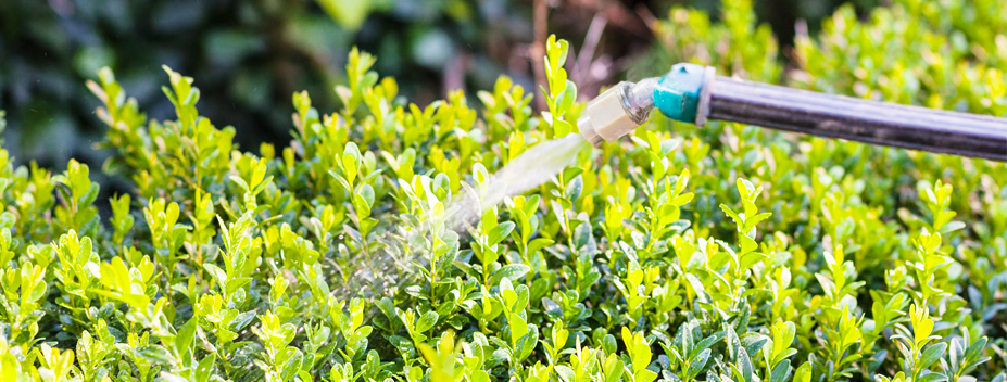 pesticide application on boxwood shrubs