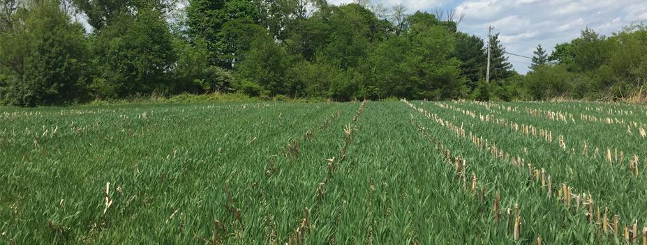 spring oats field