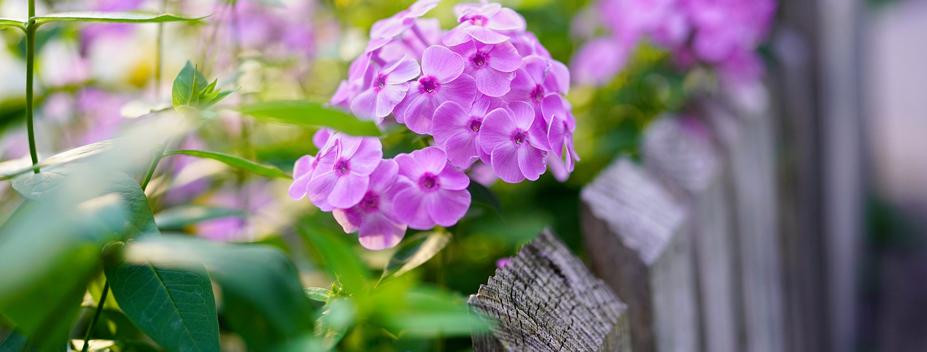 purple garden phlox along fence