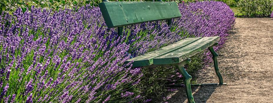 lavender and bench along garden path
