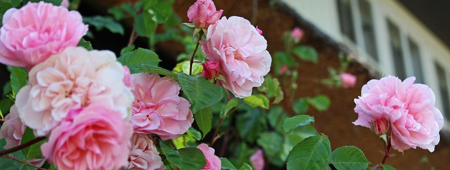 home rose garden